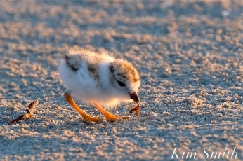 Piping Plover chick 7 days old eating a bug Gloucester MA copyright Kim Smith - 05