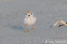 Piping Plover chick 9 days old Gloucester MA copyright Kim Smith - 14