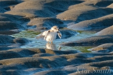 Piping Plover Chick Bath 16 days old GHB copyright Kim Smith - 01