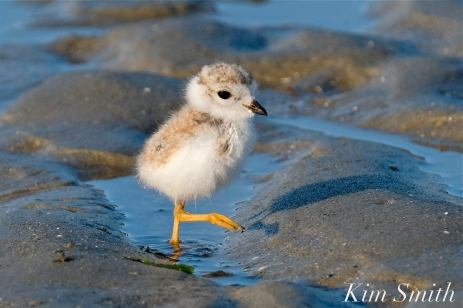 Piping Plover Chicks 16 days old GHB copyright Kim Smith - 02