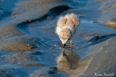 Piping Plover Chicks 16 days old GHB copyright Kim Smith - 03