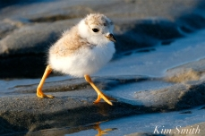 Piping Plover Chicks 16 days old GHB copyright Kim Smith - 04