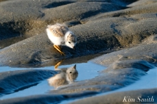Piping Plover Chicks 16 days old GHB copyright Kim Smith - 05