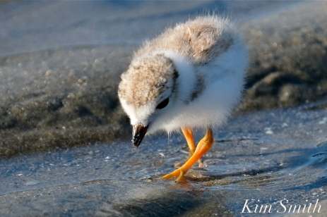 Piping Plover Chicks 16 days old GHB copyright Kim Smith - 07