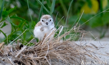 Piping Plover Chicks 17 days old GHB copyright Kim Smith - 10