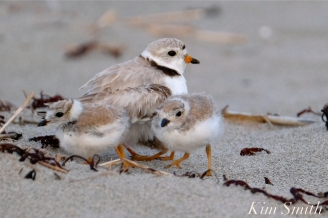 Piping Plover Chicks 21 days old GHB copyright Kim Smith - 11