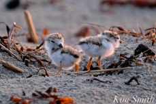 Piping Plover Chicks 3 day old Gloucester MA copyright Kim Smith - 02