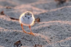Piping Plover Chicks 3 day old Gloucester MA copyright Kim Smith - 05