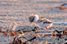 Piping Plover Chicks 3 days old Gloucester MA copyright Kim Smith - 08