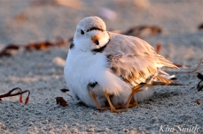 Piping Plover Chicks 3 days old Mama female adult Gloucester MA copyright Kim Smith - 10