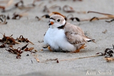 Piping Plover Chicks One Day Old 2019 Gloucester MA copyright Kim Smith - 02 copy