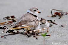 Piping Plover Chicks One Day Old 2019 Gloucester MA copyright Kim Smith - 07