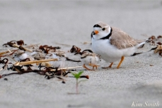 Piping Plover Chicks One Day Old 2019 Gloucester MA copyright Kim Smith - 10