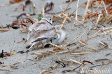 Piping Plover Chicks Two Weeks Old Gloucester MA copyright Kim Smith - 04 copy