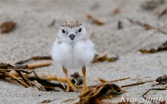 Piping Plover Chicks Two Weeks Old Gloucester MA copyright Kim Smith - 07 copy