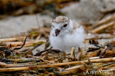 Piping Plover Chicks Two Weeks Old Gloucester MA copyright Kim Smith - 08 copy