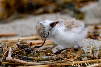 Piping Plover Chicks Two Weeks Old Gloucester MA copyright Kim Smith - 09 copy