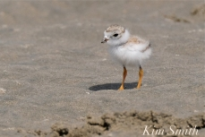 Piping Plover Chicks Two Weeks Old Gloucester MA copyright Kim Smith - 15 copy