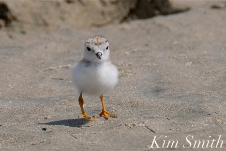 Piping Plover Chicks Two Weeks Old Gloucester MA copyright Kim Smith - 16 copy