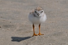 Piping Plover Chicks Two Weeks Old Gloucester MA copyright Kim Smith - 17