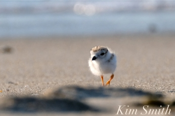 Piping Plovers chick 10 days old Gloucester MA copyright Kim Smith - 24 copy