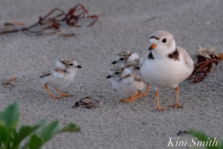 Piping Plovers Chicks 7 days old Gloucester MA copyright Kim Smith - 01 copy