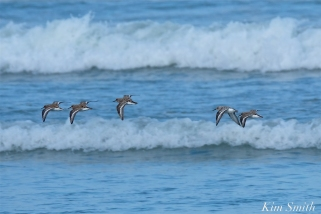 Sanderlings copyright Kim Smith