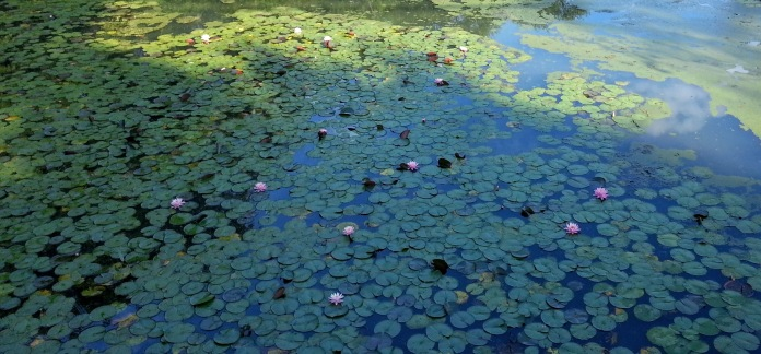water lilies_days pond Gloucester ma_20160828_©c ryan