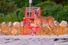 Deer Doe Good Harbor Beach copyright Kim Smith - 03