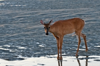 Deer Doe Good Harbor Beach copyright Kim Smith - 14
