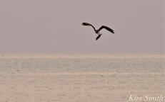 Osprey w-fish Good Harbor Beach Gloucester -2 copyright Kim Smith