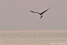 Osprey w-fish Good Harbor Beach Gloucester -3 copyright Kim Smith