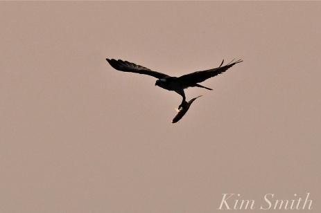 Osprey w-fish Good Harbor Beach Gloucester -5 copyright Kim Smith