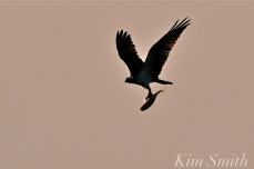 Osprey w-fish Good Harbor Beach Gloucester -6 copyright Kim Smith