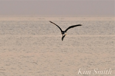 Osprey w-fish Good Harbor Beach Gloucester copyright Kim Smith