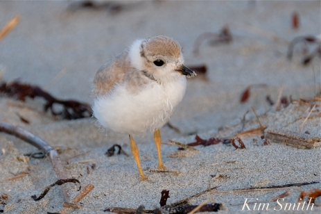 Piping Plover Chick 25 days old copyright Kim Smith - 06 copy