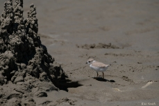 Piping Plover Chick 30 days old copyright Kim Smith - 17 copy