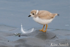 Piping Plover Chick 31 days old copyright Kim Smith - 22 copy