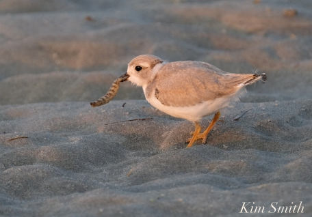 Piping Plover Chick foraging 32 days old copyright Kim Smith - 23 copy