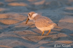Piping Plover Chick foraging 32 days old copyright Kim Smith- 25 copy