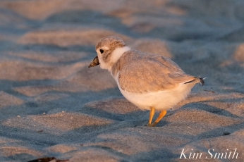 Piping Plover Chick foraging 32 days old copyright Kim Smith - 26 copy