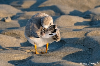 Piping Plover Chick preening 32 days old copyright Kim Smith - 28 copy