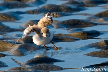 Piping Plover Chick tide pool 29 days old copyright Kim Smith - 16 copy