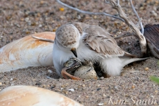 Piping Plover Chicks Hatching copyright Kim Smith - 06