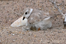 Piping Plover Chicks Hatching copyright Kim Smith - 19