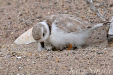Piping Plover Chicks Hatching copyright Kim Smith - 20