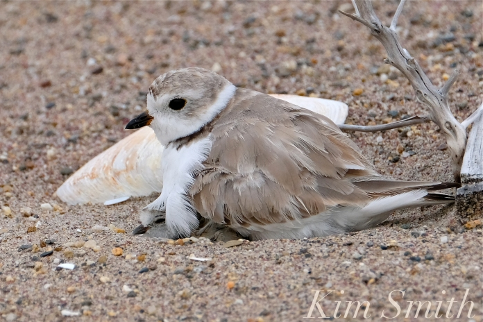 Piping Plover Chicks Hatching copyright Kim Smith - 21
