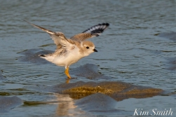 Piping Plover Fledglings 36 days old copyright Kim Smith - 22