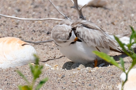 Piping Plovers Nesting Heat Wave copyright Kim Smith - 2