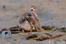 Semipalmated Plover Chick Fledgling Good Harbor Beach Massachusetts copyright Kim Smith - 05